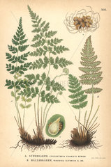 Fragile fern  Cystopteris fragilis  and rusty woodsia fern  Woodsia ilvensis