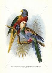 Rainbow lorikeet and pale-headed rosella