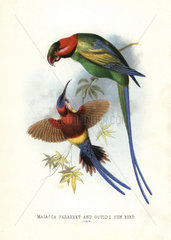 Long-tailed parakeet and Mrs Gould's sunbird