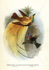 Lesser bird-of-paradise and red-necked tanager