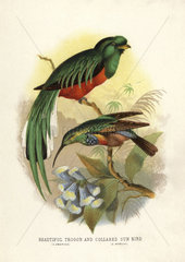 Crested quetzal and collared sunbird
