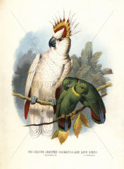 Major Mitchell's cockatoo and black-collared lovebird