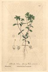 Spring water starwort  Callitriche verna