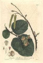 Hazelnut tree  Corylus avellana