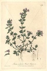 Basit thyme  Acinos vulgaris