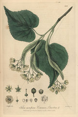 Common lime tree  Tilia europaea