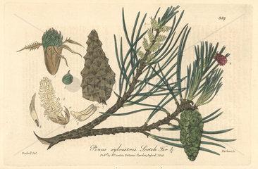 Scotch fir  Pinus sylvestris