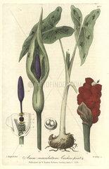 Cuckow-pint  Arum maculatum