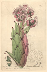 Common houseleek  Sempervivum tectorum