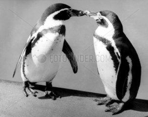 2 klein Pinguine schnaebeln