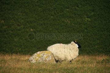 GB Dartmoor NP - Schafe