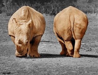 Rhinozeros Nashorn