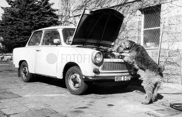 Terrier wirft Blick unter die Motorhaube