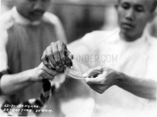 Thailand  Schlangenfarm  Entnahme von Gift