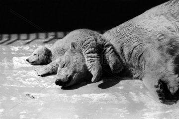 Eisbaerjunges schlaeft auf Mutter