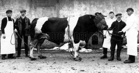 Kuh zum Schlachthof