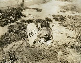 Schaeferhund trauert an Grab von Bozo
