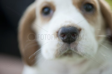Beagle puppy  focus on nose