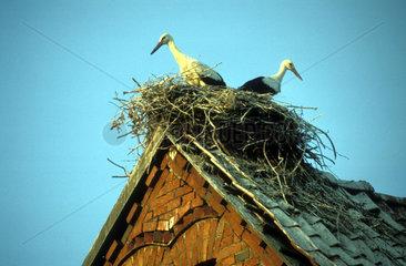 Stoerche in Storchennest auf Hausdach