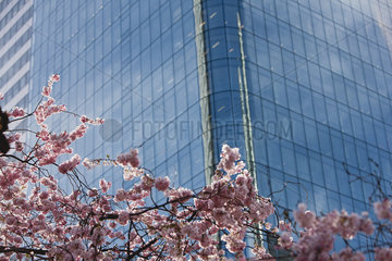 Cherry tree in full bloom in front of modern high rise building  cropped