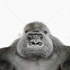 Boeser Gorilla