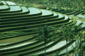treppenartig angelegte Reisfelder  Bali Indonesien