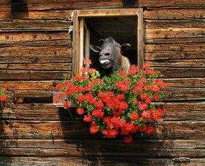 Ziege schaut aus dem Fenster