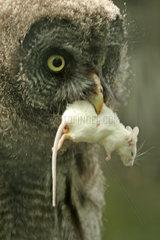 Eule mit toter Maus als Beute