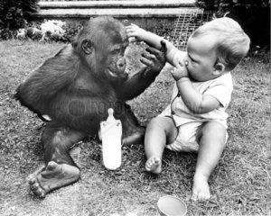 Baby und Gorilla beruehren sich