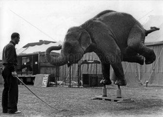 Elefant macht handstand