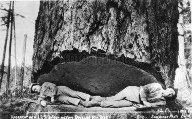 Holzfaeller liegen im angeschnittenen Stamm einer riesigen Douglaskiefer