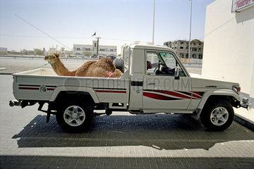 Dromedar Kamel sitzt auf einem Auto