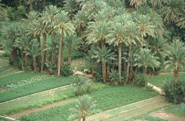 Feld mit Palmen