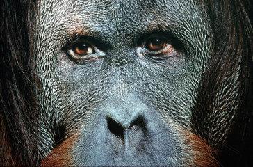 Gesicht eines Orang Utan