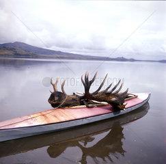 toter Elch wird in einem Kanu abtransportiert