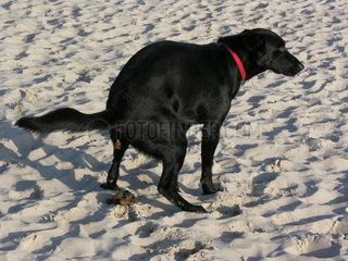 Hund scheisst am Strand