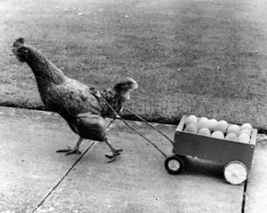 Huhn zieht Eierwagen