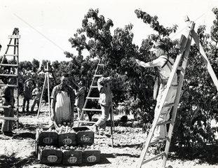 Menschen bei der Orangenernte