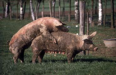 Schweine haben Sex