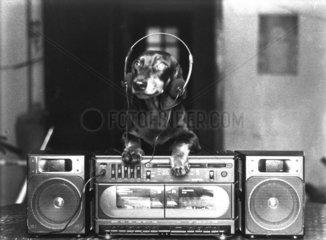 Dackel mit Kopfhoerer und stereo