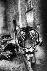 Tiger auf Strasse