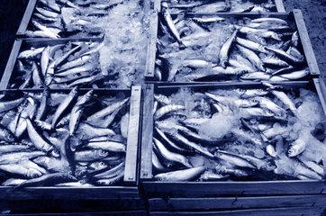 Fisch auf Eis gelegt