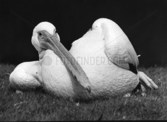 Pelikan laessig auf Rasen