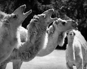 4 Kamele