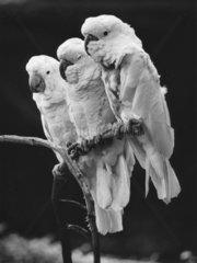 3 Inka-Kakadus