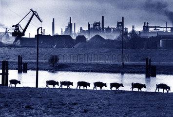 Kuehe laufen an einem Fluss mit Industrieanlage am anderen Ufer