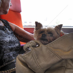 Woman traveling in train with Yorkshire terrier in bag