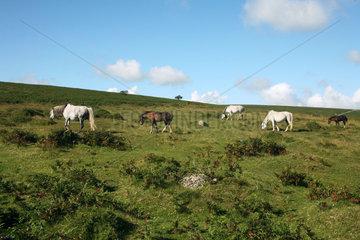 GB Dartmoor NP - Pferde