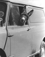 Esel schaut aus dem Autofenster