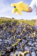 Weintrauben und Gummihandschuhe